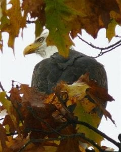 bald-eagle-in-the-trees